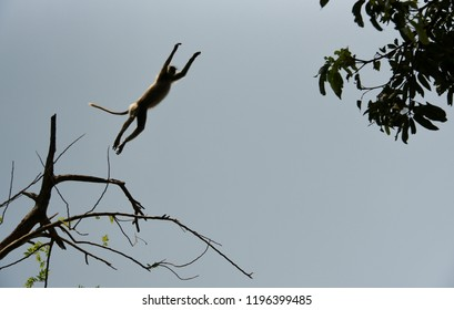 Flying jump of a monkey