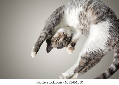Flying or jumping funny tabby kitten cat isolated on white and gray background. Copy space. Greeting card template.