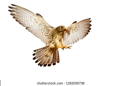 Flying kestrel. Isolated bird photo. White background. Bird: Lesser Kestrel. Falco naumanni.
