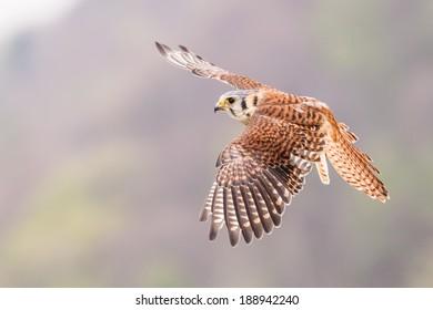 Flying Kestrel varied bird on sky