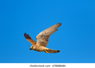 Flying Lesser Kestrel. Blue sky background. Lesser Kestrel / Falco naumanni