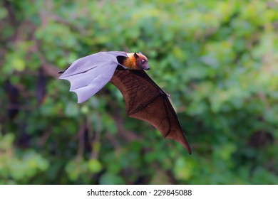 Flying Lyle's flying fox (Pteropus lylei) with green background in nature of Thailand