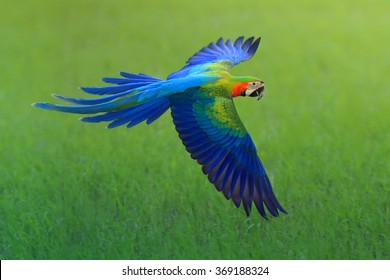 flying macaw, beautiful bird