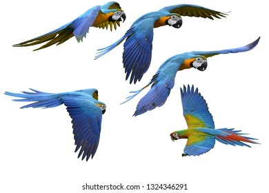 Flying Macaw set of Blue and Gold Macaw parrot flying over white background, exotic details with Clipping Patch
