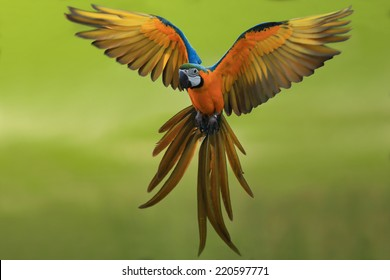 flying macaw,beautiful bird
