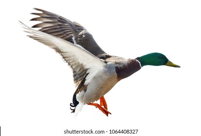 flying mallard duck drake isolated on white background