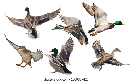 flying mallard ducks isolated on white background