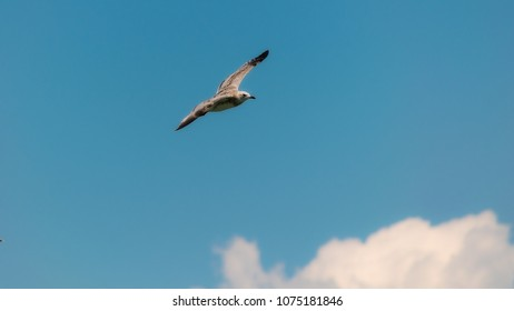 Flying Mew common gull over lake Ohrid, Macedonia, on a sunny day, with light blue sky in the background