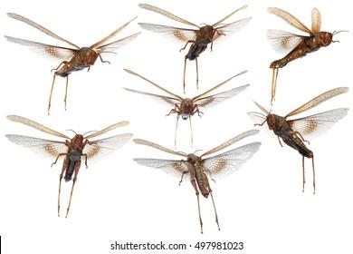 Flying migratory locust (Locusta migratoria) isolated on a white background