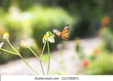 Flying Monarch Butterfly on a White Flower.