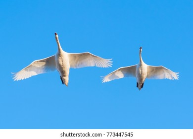 Flying Mute Swans, Cygnus olor, Germany, Europe