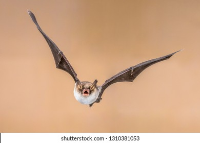 Flying Natterer's bat (Myotis nattereri) action shot of hunting animal on bright brown background. This species is medium sized with distictive white belly, nocturnal and found in Europe and Asia.