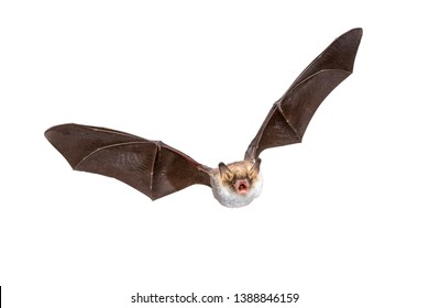 Flying Natterer's bat (Myotis nattereri) action shot of hunting animal isolated on white background. This species is medium sized, nocturnal and insectivorous found in Europe and Asia.