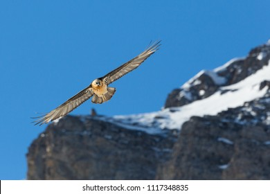 flying natural adult bearded vulture (gypaetus barbatus) mountains, blue sky
