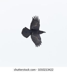 flying natural northern raven bird (corvus corax) spread wings on white background