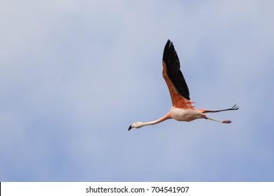 Flying nice pink big bird Chilean Flamingo, Phoenicopterus chilensis
