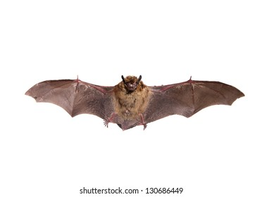 Flying Northern bat (Eptesicus nilssonii), isolated on white.