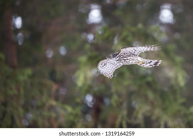 Flying Northern goshawk, Accipiter gentilis,  isolated against spruce winter forest. Quickly flying bird of prey in its native forest environment. Animal action scene. Winter nature. Czech highlands.