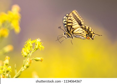 Flying Old World swallowtail butterfly (Papilio machaon) drinking nectar on yellow flower background