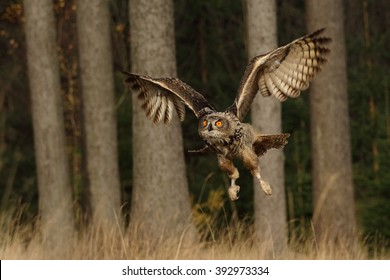 Flying owl in autumn Forrest