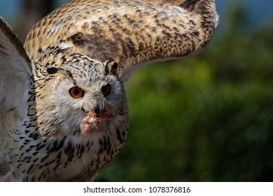 A flying owl in it´s beauty