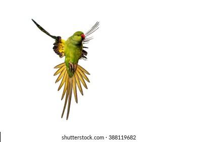 Flying parrot. Isolated parrot. White background. Bird: Rose ringed Parakeet. Psittacula krameri.