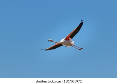 Flying pelican against blue sky. Amazing and majestic bird, very colorful, pink and orange.