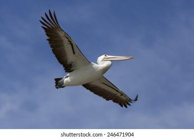 Flying pelican in the blue sky, victoria, Australia