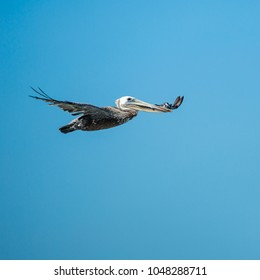 A flying pelican with fish in blue sky