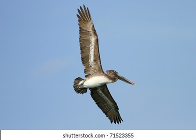 A flying pelican on a hunt