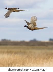 Flying Pheasant Pair