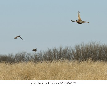 Flying Pheasants