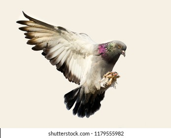 flying pigeon bird in action isolated on white background,feather wing of homing pigeon bird floating mid air. Beautiful bird