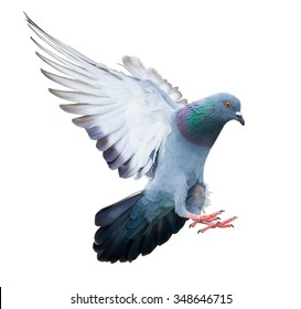 flying pigeon bird in action isolated on white background