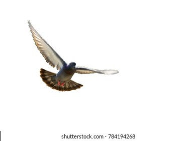 flying pigeon bird in action isolated white background clipping path