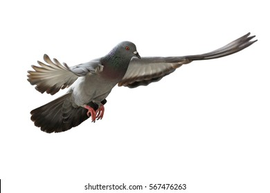 flying pigeon bird isolated on white background