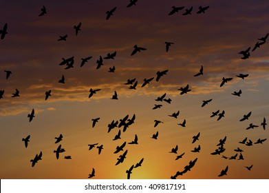 Flying pigeons on the sunset