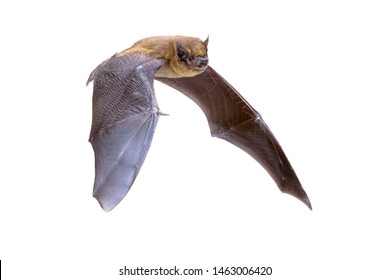 Flying Pipistrelle bat (Pipistrellus pipistrellus) action shot of hunting animal isolated on white background. This species is know for roosting and living in urban areas in Europe and Asia.
