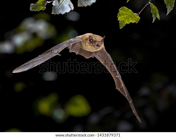 Flying Pipistrelle bat (Pipistrellus pipistrellus) action shot of hunting animal in natural forest background. This species is know for roosting and living in urban areas in Europe and Asia.