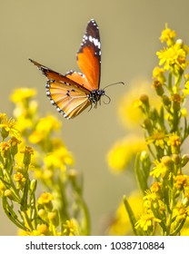 Flying Plain tiger or African monarch butterfly (Danaus chrysippus) in yellow flower habitat background