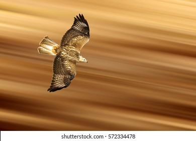 Flying Predator. Isolated bird. Yellow brown motion blur background. Detail, sharpness and high resolution.