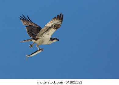 Flying raptor, Osprey, Pandion haliaetus isolated against a blue sky, carrying fish in its talons.
