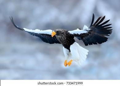 Flying rare eagle. Steller's sea eagle, Haliaeetus pelagicus, bird of prey from Hokkaido, Japan. Eagle with nature mountain habitat.
