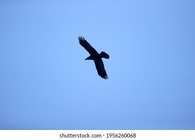 Flying raven above forestry Ruinen, the Netherlands