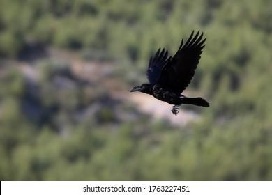 Flying raven. Green nature background. Bird: Northern Raven. Corvus corax.