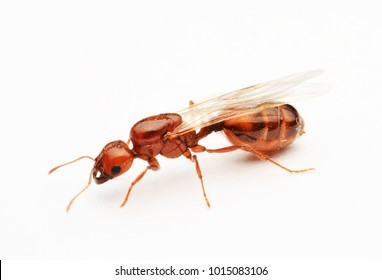 Flying red ants on white background macro.