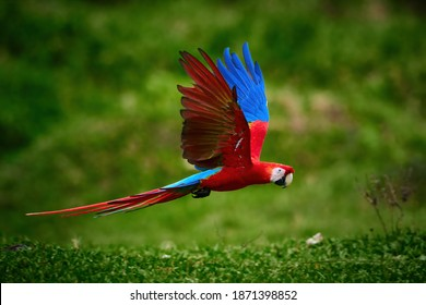 Flying red ara parrot, flying just above the ground. Bright red and blue south american parrot,  Ara macao, Scarlet Macaw, flying with outstretched wings in tropical forest, Costa Rica.