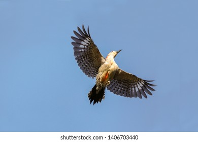 Flying red bellied woodpecker bird Melanerpes carolinus soars above in the blue sky of Naples, Florida.