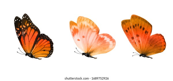 flying red  tropical butterflies. insects for design. colored moths. isolated on white background