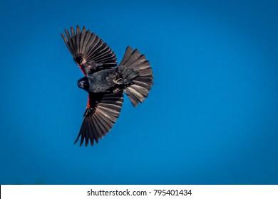 Flying Red Winged Blackbird